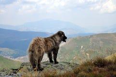 Um cão de Shar Mountain na natureza fotografia de stock