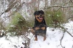Um cão de sorriso de Rottweiler que senta-se na neve imagens de stock royalty free