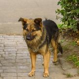 Um cão desgrenhado desabrigado está no trajeto no verão fotos de stock royalty free