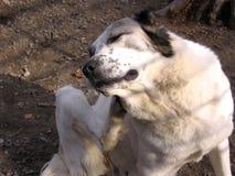 Um cão desgrenhado grande riscou a parte traseira de sua pata que risca pulga fotos de stock