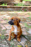 Um cão disperso Imagem de Stock