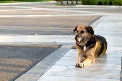 Um cão disperso que encontra-se no passeio Fotos de Stock