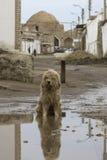 Um cão disperso que senta-se em uma poça enlameada Fotografia de Stock Royalty Free