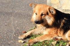 Um cão disperso triste vermelho encontra-se na grama ao lado de uma parede de pedra Fotos de Stock Royalty Free