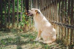 Um cão do híbrido da cor bege senta-se na terra perto de uma cerca de madeira imagem de stock