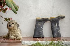 Um cão do híbrido descansa ao lado de um par de botas de borracha sujas fotografia de stock royalty free