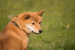 Um cão do inu do shiba senta-se ao lado de vê o que acontece Imagem de Stock Royalty Free