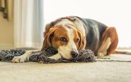 Um cão do lebreiro que estabelece em uma confusão do fio tangled Cão do lebreiro que estabelece em uma confusão do fio tangled imagens de stock