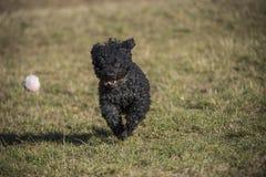 Um cão do mudi que corre após uma bola branca fotos de stock