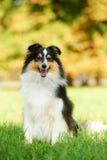 Um cão do Sheepdog de Shetland fotografia de stock