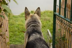 Um cão doméstico de um cão pastor fotos de stock