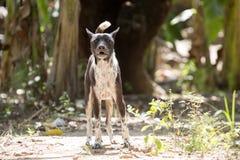 Um cão doméstico irritado, penida de Bali, Nusa, Indonésia imagem de stock