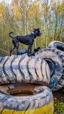 Um cão em pneumáticos Imagens de Stock
