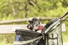 Um cão em um Pram do animal de estimação que está sendo empurrado ao longo de um trajeto do parque do país que olha triste imagens de stock royalty free