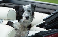 Um cão em um carro Foto de Stock