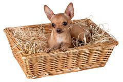 Um cão em uma cesta com palha Fotos de Stock Royalty Free