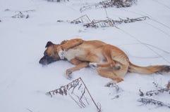 Um cão está apreciando a neve Fotos de Stock Royalty Free