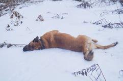 Um cão está apreciando a neve Foto de Stock Royalty Free
