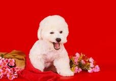 Um cão feliz o bichon das raças que frize senta-se em um fundo vermelho Fotos de Stock Royalty Free