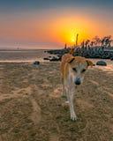 Um cão feliz que anda na praia indiana durante o por do sol colorido no fundo foto de stock