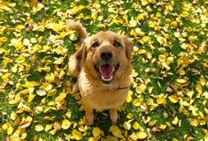 Um cão feliz que siitting na grama com as folhas de outono amarelas imagens de stock royalty free