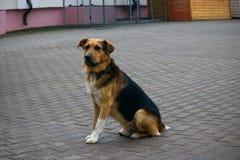 Um cão grande senta-se Fotografia de Stock Royalty Free