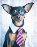 Um cão, mais toyterrier um laço e um colar branco Educação, treinando fotografia de stock royalty free