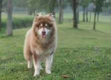 Um cão marrom de cobre do malamute do Alasca que está em uma grama verde foto de stock