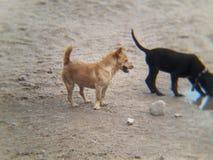 Um cão marrom pequeno bonito e um cachorrinho ao lado da água potável preta Imagem de Stock