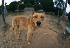 Um cão marrom pobre Foto de Stock Royalty Free