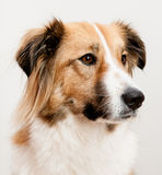 Um cão misturado da raça Imagem de Stock