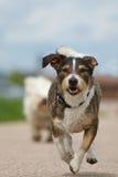 Um cão misturado da raça está correndo Fotografia de Stock Royalty Free