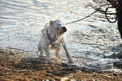 Um cão molhado agita fora a água Imagens de Stock