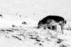 Um cão na neve, aspirando na terra imagem de stock royalty free