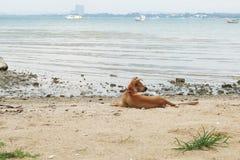 Um cão na praia Foto de Stock Royalty Free