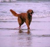 Um cão no mar Fotos de Stock Royalty Free