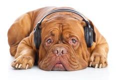 Um cão nos auscultadores está escutando a música Fotografia de Stock
