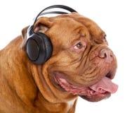 Um cão nos auscultadores está escutando a música Foto de Stock