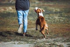 Um cão novo da raça Staffordshire Terrier americano corre ao lado de um homem e dos olhares nos olhos Imagens de Stock