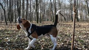 Um cão novo do bigl em um parque da mola