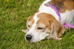 Um cão novo do cachorrinho Fotografia de Stock Royalty Free