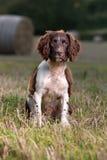 Um cão novo do spaniel de springer fotografia de stock