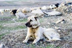 Um cão-pastor, um cão-pastor que proteja os carneiros do cão-pastor cansado do cão do lobo, descansando o cão-pastor Foto de Stock