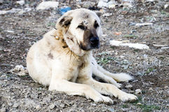 Um cão-pastor, um cão-pastor que proteja os carneiros do cão-pastor cansado do cão do lobo, descansando o cão-pastor Imagem de Stock