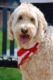 Um cão patriótico feliz de Goldendoodle no 4o julho Imagens de Stock Royalty Free