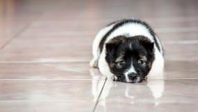 Um cão pequeno é tão triste indoor Foto de Stock
