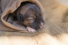Um cão pequeno Imagens de Stock Royalty Free