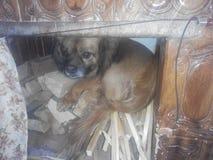 Um cão pequeno Fotos de Stock Royalty Free