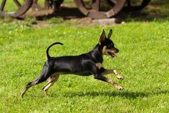 Um cão pequeno ativo corre ao longo da grama verde Foto de Stock Royalty Free