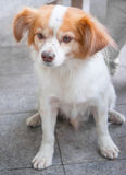 Um cão pequeno bonito Fotos de Stock Royalty Free